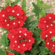 Verbena peruviana Samira Red With Eye
