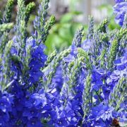 Veronica-teucrium-Royal-Blue