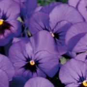 Viola cornuta Twix Blue with Eye