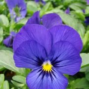 Viola cornuta Twix Deep Blue with Eye