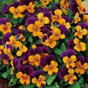 Viola cornuta Twix Orange Purple Wing