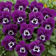 Viola cornuta Twix Power Purple Face
