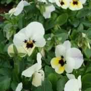 Viola cornuta Twix White with Eye