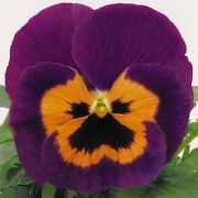 Viola wittrockiana Carneval Special Violet and Orange