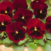 Viola wittrockiana Lubega Red with Blotch