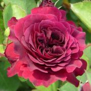 anglu-roze-THE-DARK-LADY