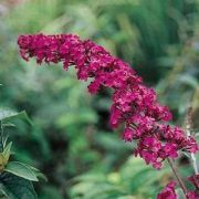 buddleia royal-red
