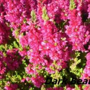calluna-vulgaris dark-beauty
