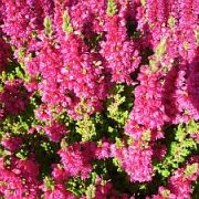 calluna-vulgaris-dark-beauty