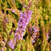 calluna-vulgaris-gold-knight