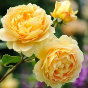 floribundroze-GOLDEN-YEAR