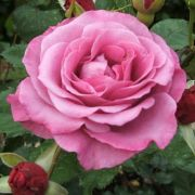 floribundroze-SCHOCKING-BLUE