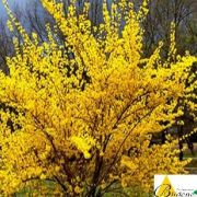 forsythia.flojor