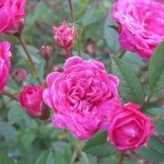 mini-roze-BABY-CRIMSON