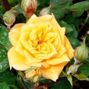 mini-roze-YELLOW-CLEMENTINE