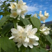 philadelphus coronarius 12 sweet mock orange seringat
