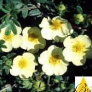 potentilla.primrose.beauty