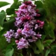 syringa20mayeri20india