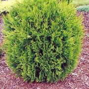 thuja occidentalis hoveyi